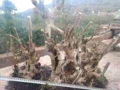 这些小叶瓜子黄杨下山桩 你觉得哪个造型最霸气