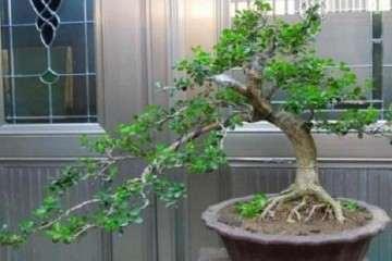 雀舌黄杨盆景通常养2年之后就要换盆