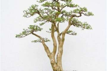 雀舌黄杨盆景幼苗扦插生根的方法