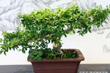 扦插繁殖黄杨盆景的5个小妙招