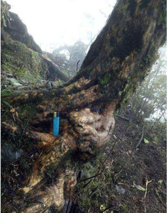 大哥深山发现千年黄杨下山桩