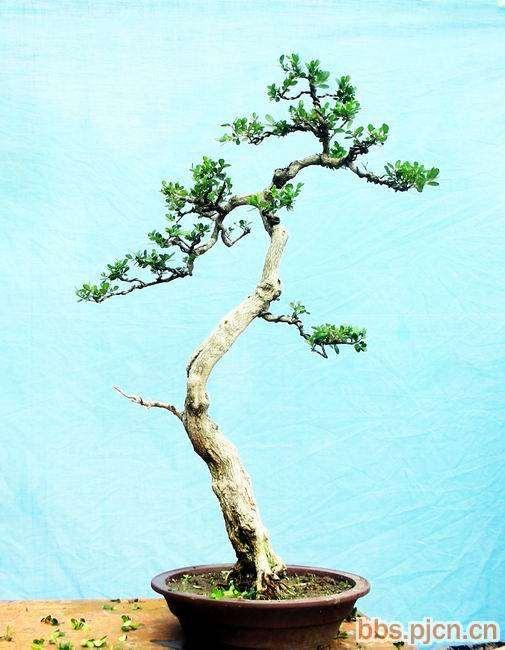 黄杨盆景的繁殖方法主要用托插法