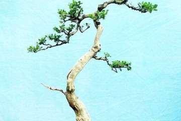 黄杨盆景扦插后怎么繁殖发芽的压条方法