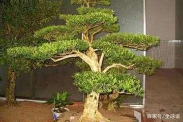 黄杨盆景施肥 一定要施微量的钾肥 能促进生长