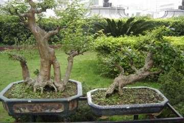 小叶黄杨盆景与瓜子黄杨盆景是一个品种吗?