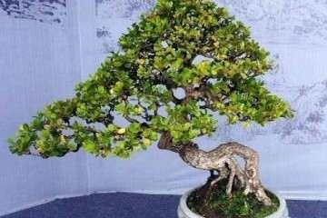 黄杨盆景出现脱叶 枯枝是怎么回事 如何救治?