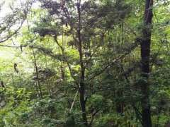男子野外发现一棵黄杨下山桩 高3米左右 发财了