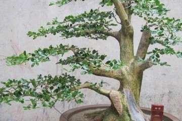 珍珠黄杨树桩盆景快死了 只要这样做 很快就能复活