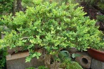 怎么防治黄杨盆景的病虫害?有没有方法?
