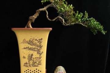 在春季怎么移栽雀舌黄杨盆景最好发芽