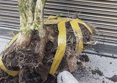 为什么挖黄杨下山桩