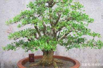 黄杨盆景有哪些习性 该如何养护?
