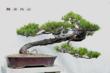 怎么给油松盆景修剪整形 看高手的方法 图片