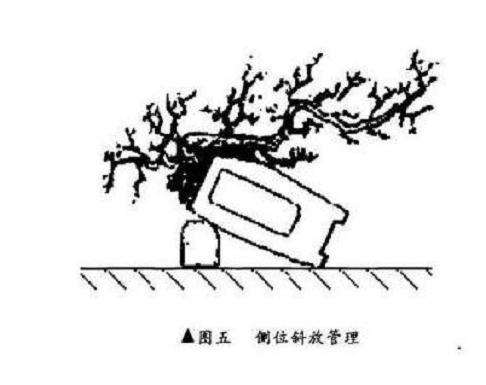 悬崖式盆景怎么制作的方法