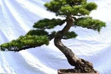 杂木盆景一年四季都可以修剪 5个修剪方法