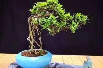 小叶枙子花盆景怎么浇水 如何使用土壤?