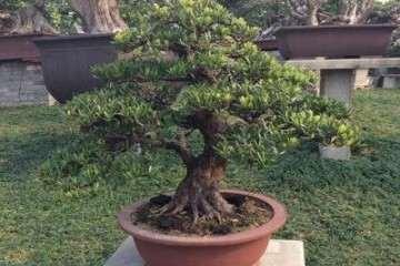 罗汉松盆景怎么栽培养护 用什么方法