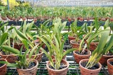 兰花盆栽分株繁殖的方法和程序