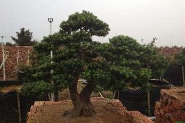 怎么利用植物特性来培养树桩盆景 图片