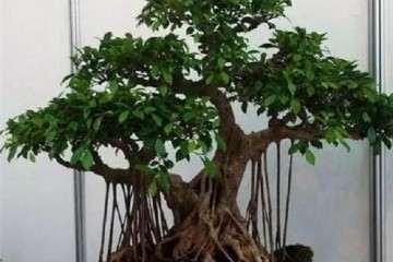 榕树盆景怎么造型与栽培的方法 图片