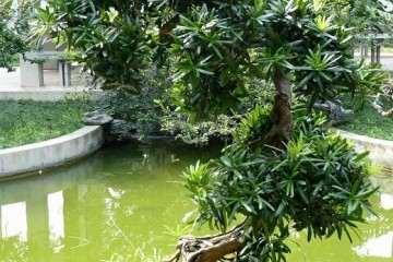 罗汉松盆景怎么栽种发芽的方法 图片