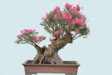 紫薇盆景怎么上盆栽植的方法 图片