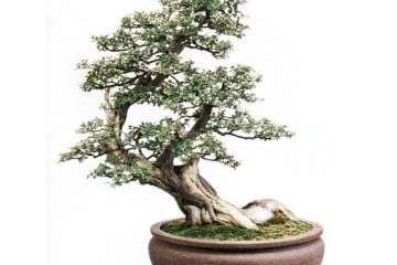 雀梅老桩盆景怎么上盆栽种的方法 图片