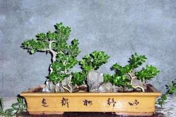 黄杨盆景怎么上盆栽种的方法 图片