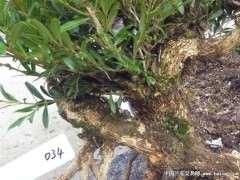 下山桩枝干及根系的3个必要处理方法