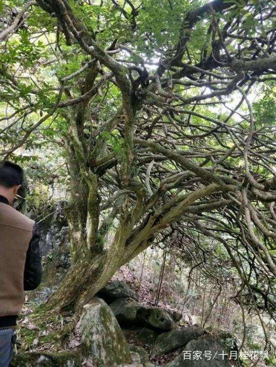 上百年的雀舌黄杨下山桩