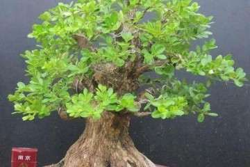 黄杨盆景萌芽后怎么上盆造型的4个方法