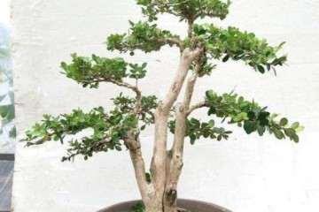 小叶黄杨盆景怎么发芽养护的2个方法