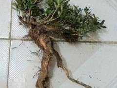 黄杨下山桩怎么发芽的5个养护方法 图片