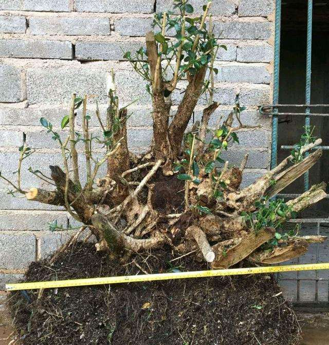 黄杨下山桩怎么浇水养护多发芽