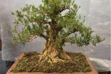 养殖黄杨老桩盆景怎么上盆造型的方法