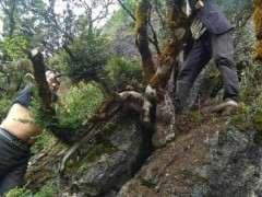 为了生活 50来岁还在采挖黄杨下山桩 图片
