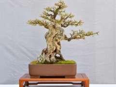 黄杨盆景下山桩头发芽后该怎么养护 图片