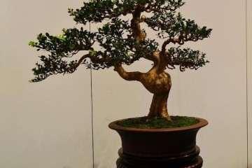 黄杨盆景的最好栽培时间是什么时候