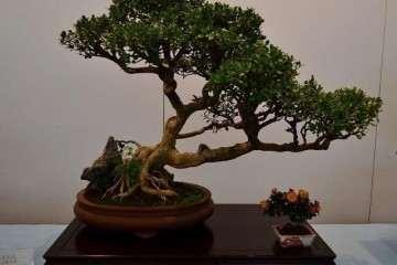 黄杨盆景的造型形式有哪些 图片