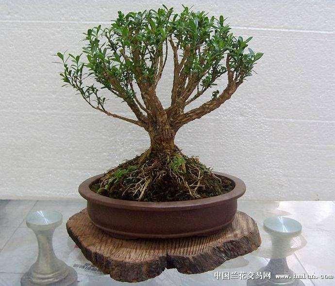 什么时候栽培小叶黄杨盆景最好