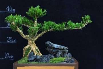 小叶黄杨盆景怎么在室内栽培 图片