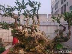 黄杨下山桩怎么浇水养护的方法 图片