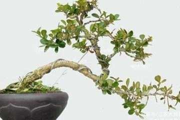 养护小叶黄杨盆景萌芽的方法有哪些?