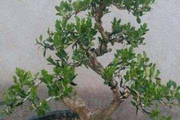 黄杨盆景怎么促芽发芽的方法 图片