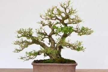 小叶黄杨盆景发芽后怎么换盆的方法