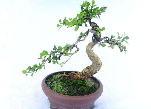 怎么制作黄杨盆景的4种扦插方法