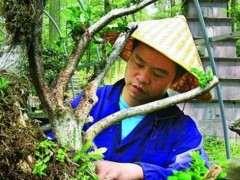 菜地里的百年黄杨下山桩成精了