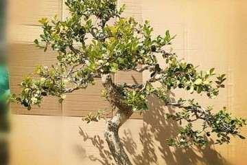 小叶黄杨盆景栽培后怎样蟠扎 如何养护