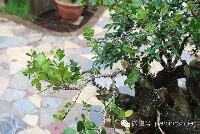 朝鲜黄杨盆景怎么栽培的方法