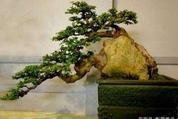 小叶黄杨盆景在种植时发生病害怎么办?